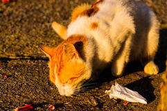 Alley Cat Eating Stock Photography