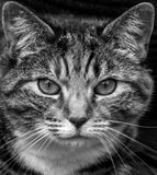 Alley Cat. Front on picture of an alley cat in black and white royalty free stock photos