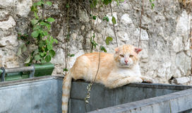 Alley Cat. Male alley cat sat on a rubbish bin Stock Photography