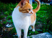Alley Cat Portrait Royalty Free Stock Photography