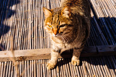 Alley Cat Portrait Royalty Free Stock Photo