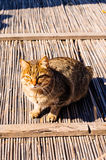 Alley Cat Portrait Royalty Free Stock Photos