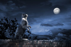 Alley cat standing in the moonlight. Photo of a cat looking at the moon Royalty Free Stock Photography