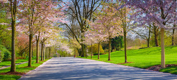 Alley of cherry blossoms in the botanical garden of Essen town Royalty Free Stock Images