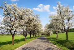 Alley of cherry-trees Royalty Free Stock Images