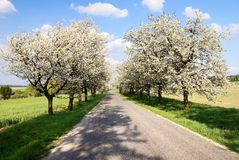 Alley of cherry-trees Royalty Free Stock Image