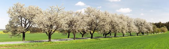 Alley of cherry trees white flowering stock image