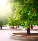 Alley of chestnut trees in green city park Stock Photo