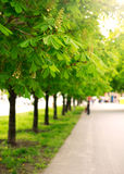 Alley of chestnut trees in green city park Stock Images