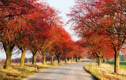 Alley of chokeberry. Autumnal view of alley of chokeberry Royalty Free Stock Photos