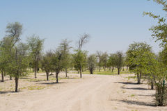 Alley of cultivated small growing trees in the desert Royalty Free Stock Photo