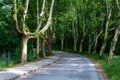 Alley from diseased trees without peel. The asphalted road through the alley.  royalty free stock photography