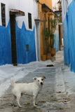 Alley dog. An alley dog in a historic neighborhood in Oudaia Kasbah Royalty Free Stock Photography