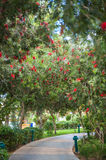 Alley exotic furry red colors (Callistemon).  Stock Photo