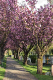 Alley with flowering cherry trees Stock Image