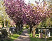 Alley with flowering cherry trees Royalty Free Stock Images