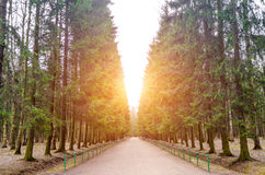 Alley footpath in the pine forest. Tall pine trees forest landscape Stock Images