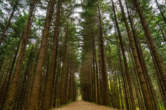 Alley footpath in the pine forest Royalty Free Stock Photography