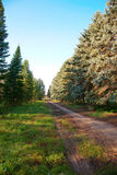 Alley or glade in a pine forest Royalty Free Stock Photography