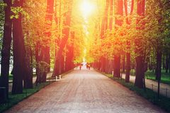 Alley with green high trees, road or path in summer sunset, magic landscape royalty free stock image