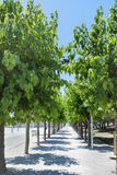 Alley with green trees in row Stock Photography
