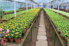 Alley in the greenhouse. Inside the greenhouse - alley and ordered rows of ornamental flowers and plants Stock Photo