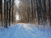 Alley with high trees on the sides in sunny winter day. royalty free stock photography