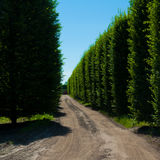 Alley of hornbeam. Along dirt road Royalty Free Stock Images