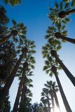 Palm trees on sunny day. Alley of huge palm trees on sunny day royalty free stock images