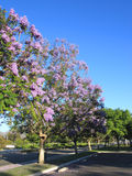 Alley of Jacaranda Trees Stock Photos