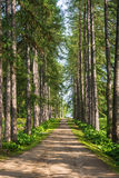 Alley of larches in the Solovetsky Botanical garden. Royalty Free Stock Photo