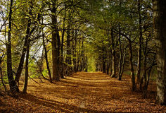 Alley of lime trees Stock Images