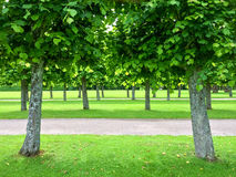 Alley of linden trees in the summer park Royalty Free Stock Image