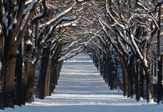 Alley with lines of trees in a winter scenery Royalty Free Stock Images