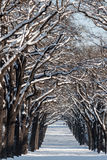 Alley with lines of trees in a winter scenery Stock Photo