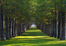 Alley of maple trees and green lawn Royalty Free Stock Photos