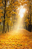 Alley of maples. Alley of maple trees with fallen leaves and sunbeam royalty free stock photography