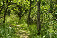 Alley of oaks. Green bright footpath at an alley of oaks Royalty Free Stock Photos