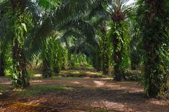 Trees in oil palm plantation stock image