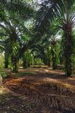 Alley through the oil palm plantation royalty free stock photography