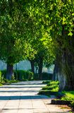 Alley with old chestnut trees. Lovely urban nature in spring time stock image