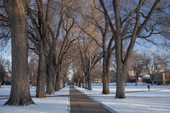 Alley of old elm trees at university campus. Alley of old elm trees - historical Oval at Colorado State University campus, Fort Collins, winter morning royalty free stock photos