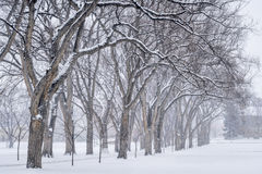 Alley of old elm trees at university campus. Alley of old elm trees in snow blizzard - historical Oval at Colorado State University campus, Fort Collins royalty free stock photography