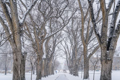 Alley of old elm trees at university campus. Alley of old elm trees in snow blizzard - historical Oval at Colorado State University campus, Fort Collins stock photography