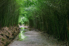 Alley path way through bamboo forest royalty free stock photography