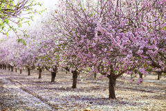 Alley of pink almond trees Royalty Free Stock Photo