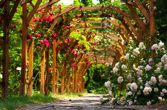 Alley of roses Royalty Free Stock Photography