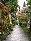 Alley of Roses. Wonderful alley of roses in the medieval town of visby royalty free stock photo