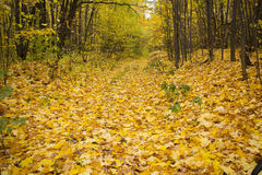 Alley strewn with yellow autumn leaves lining the trees Stock Photos