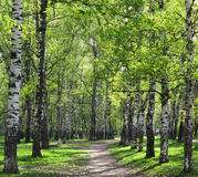 Alley in sunny birch grove with first spring greens Royalty Free Stock Photography